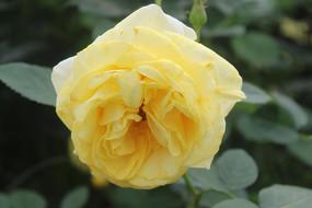 盛开的黄色玫瑰花
