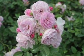 紫色的盛开玫瑰花
