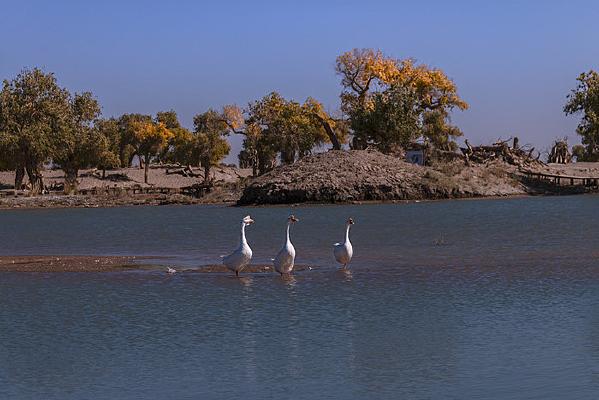 弱水流沙胡杨林生态美景