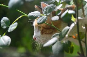 花丛中练习捕猎的中华田园猫