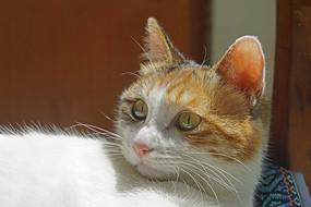 一只宠物家猫