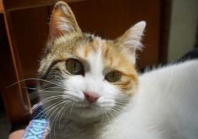 一只宠物中华田园猫