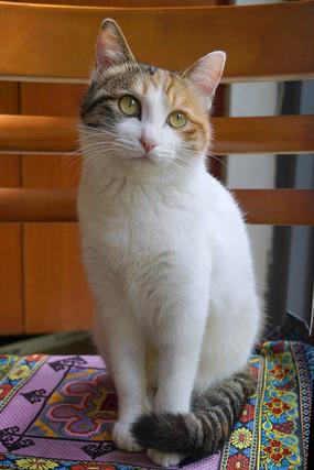 一只蹲在座椅上的中华田园猫