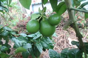 正在成长中柚子