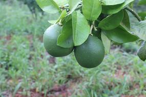 两个柚子特写