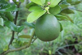 一个柚子特写