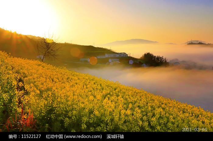 朝阳中油菜花图片