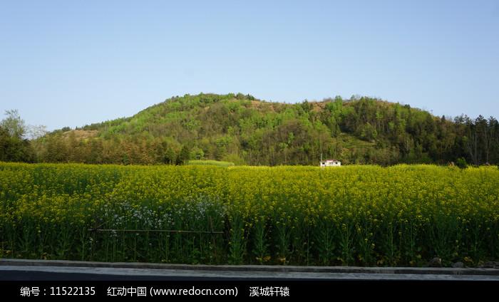 县河阳坡寨油菜图片