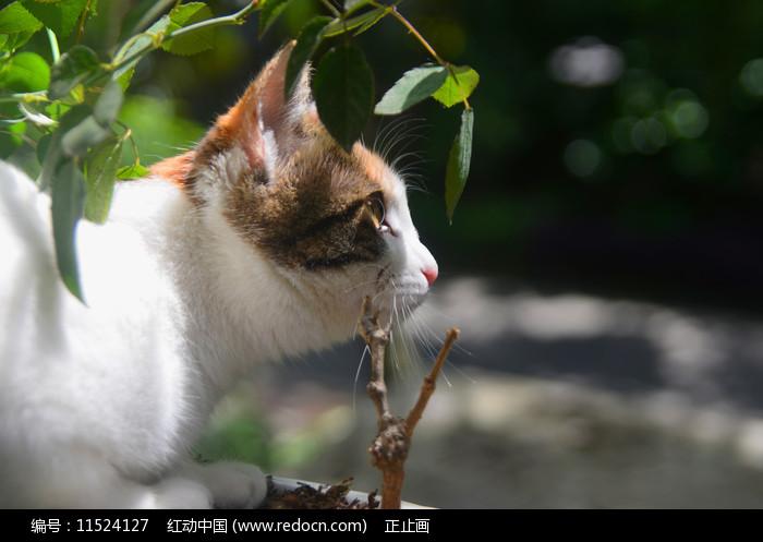 一只在花丛中练习捕猎的中华田园猫图片