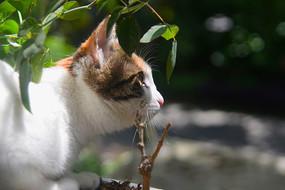 一只在花丛中练习捕猎的中华田园猫