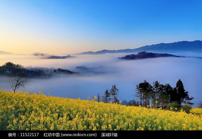 高山云雾中的油菜花图片