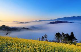 高山云雾中的油菜花