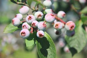 带果粉的蓝莓果