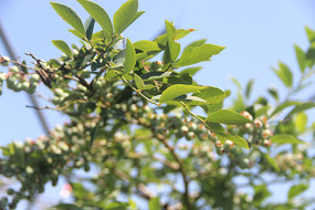 蓝莓树绿叶