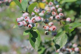 蓝莓园鲜果