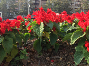 象牙红景观花