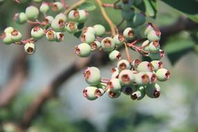 枝头蓝莓拍摄