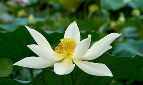 白色荷花花蕊