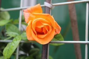 橙红色的玫瑰