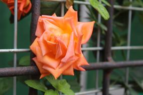 橙红色的玫瑰花