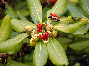 海桐花蒴果和红色的种子