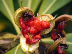 海桐花红色的种子