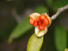 海桐花红色的种子特写