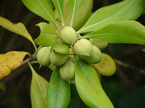 海桐花绿色的蒴果