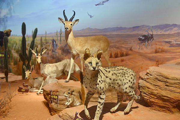 非洲野生动物标本-薮猫