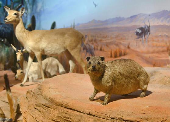非洲野生动物标本-苇羚和蹄兔