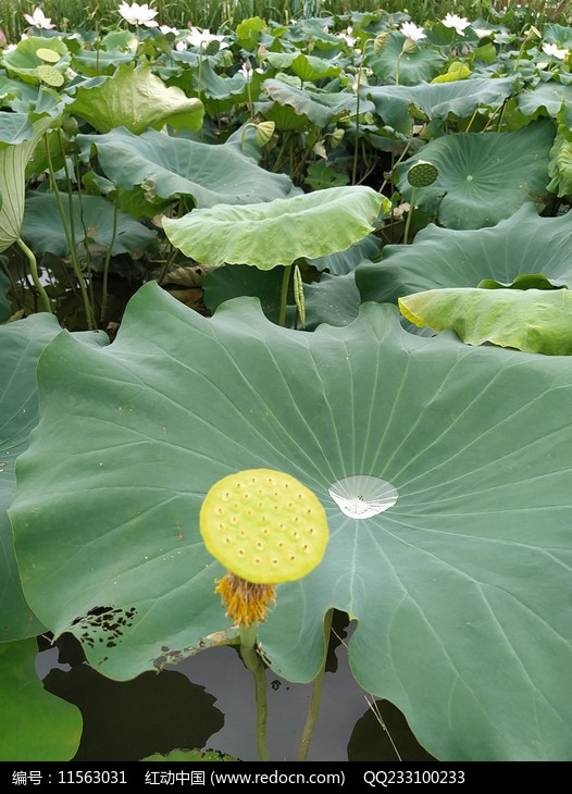 池塘莲叶图片