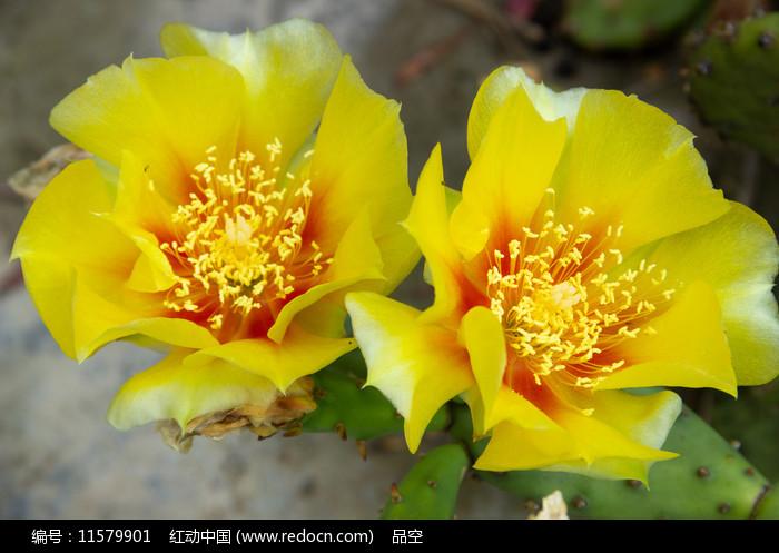 两朵并蒂的仙人掌花图片
