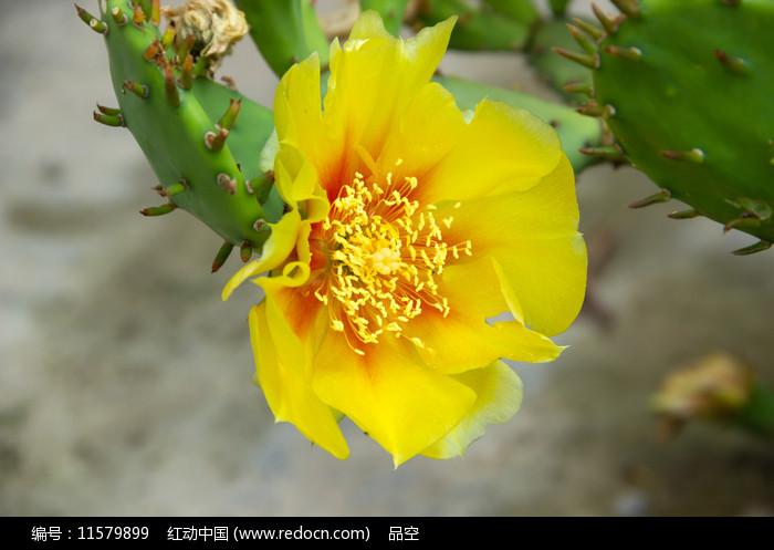一朵黄色的仙人掌花图片