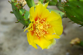 一朵黄色的仙人掌花