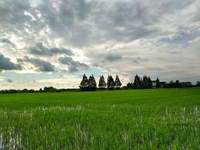 夏日稻田风景