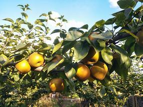 满枝头蜜梨