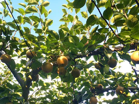 生态梨园蜜梨