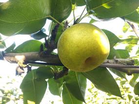 枝头苹果梨