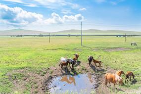 草原上喝水的马群