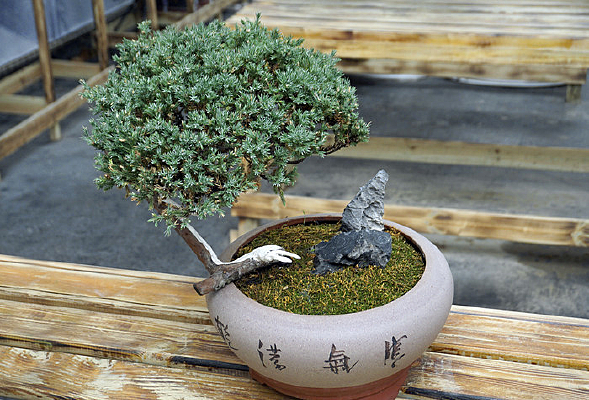 盆景摆件-刺柏园艺盆栽