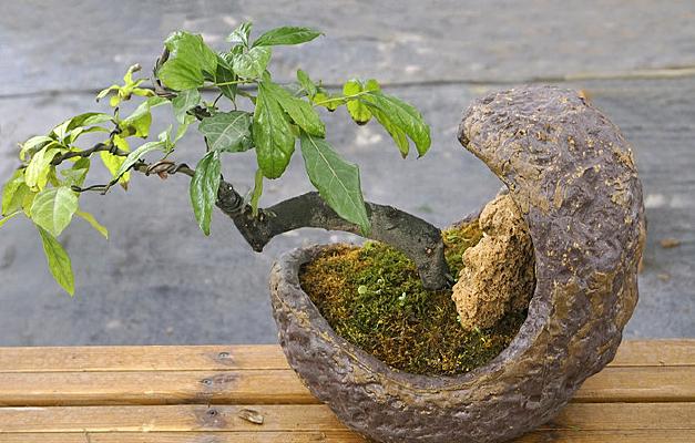 盆景摆件-冬青树园艺盆栽