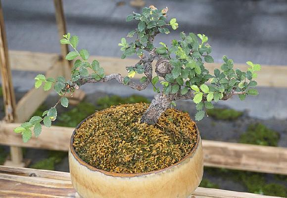 盆景摆件-榆树园艺盆栽