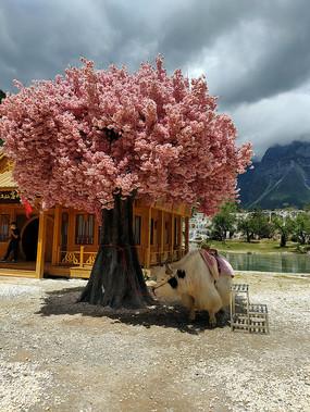 樱花树和毛牛