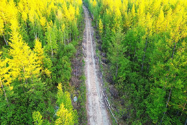 航拍穿越落松林的公路