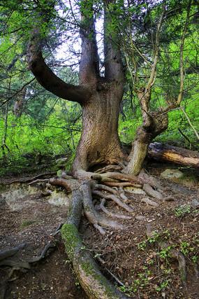 九寨沟盘根大树