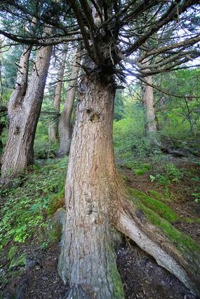 九寨溝原始森林
