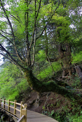 九寨沟原始森林步道
