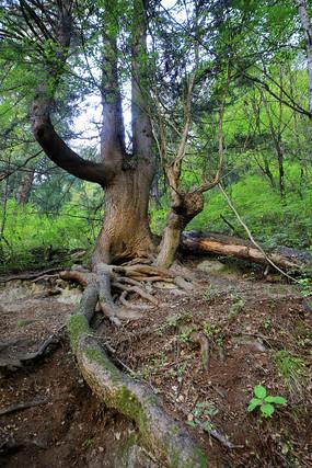 九寨溝原始森林盤根古樹