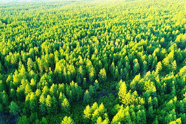 绿色落叶松松林