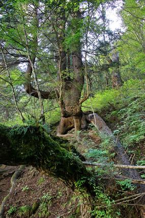 原始森林盘根大树